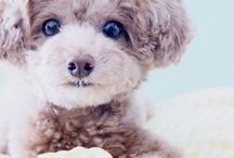 || PUPPIES || / Poodle love...