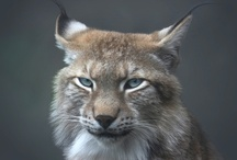 Ilves ~ Lynx Lynx / Lynx symbolises the unravelling of hidden truths and the psychic power of clairvoyance.