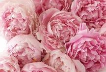 :Peonies Obsession / by |Karla Hodge|