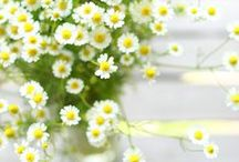 :Daisy Obsession / by |Karla Hodge|