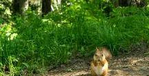 Рыжая белка. Июнь 2015г. / Такие красавицы обитают в Красноярском заповеднике «Столбы».
