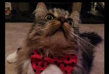 Cats Wearing Bow Ties / My favourite pictures of pussy cats wearing bow ties! What's not to love?!