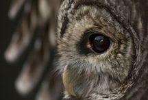 Owls  / Tyto alba, Strix nebulosa and so on…..