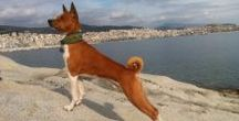 Basenji love / African Bush Dog, African Barkless Dog, Ango Angari, Congo Dog, Zande Dog.