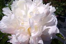 Blanc / Végétaux à floraison ou feuillage blanc.