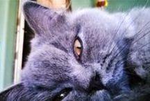 Kittycats / My darling Monty. Longhair British cat
