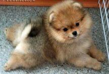 Pomeranian Parade / Pomeranian's are precious perky petite playful puffs!