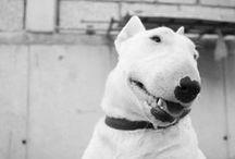 ___bullie___ / I WANT ONE OF THOSE, Bullie, Bull Terrier <3