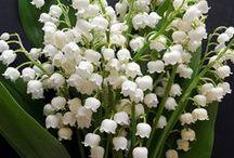 Liljekonvaller/Lily of the valley / Min favoritblomst  - My favorite flower