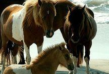 Shetlands ponies / Shetlandsponies