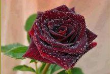 Roses / róża