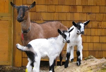 PKN Animal Attractions / Goats, Chickens, Rabbits, Guinea Pigs