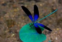 Dragonflies / Beautiful dragonfly themed stuffs and things.