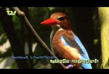 Vogels - Birds / Zangvogels & Roofvogels - Songbirds & Birds of Prey