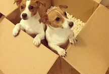 Jack Russells / I love all the Jackies in the whole world but still love mine the best!!