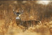 Smokies Wildlife / The Great Smoky Mountains has so many beautiful wildlife to view