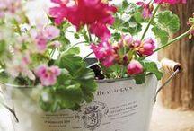 Container Garden. Pelargonium.