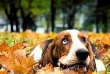 ❤ Photography: basset hounds ❤