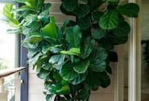 fiddle fig LOVE