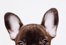 For the Love of Frenchies