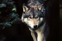 Oh my Deer Wolf
