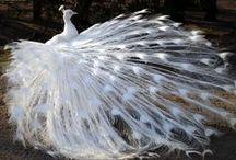 Birds:  Peacocks / by Constance Bendixen