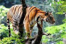 Tigers / by Sarah Cutcher