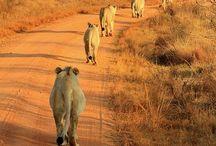 South Africa - Kruger park area / Safari game reserves