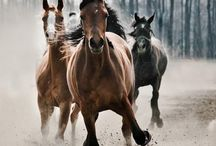 Horses / These  creatures are the most magical beautiful creatures to every to walk among this very planet us humans call earth, to a man his dog is and always will be his wing man but girls horses think of us a companion, horses think we're Angels from heaven