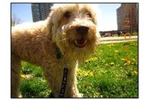 Breed of the Month - the Wheaten Terrier / The Wheaten Terrier originated as a farm dog. They were bred to eliminate vermin, round-up livestock and guard the home. A playful and hard-working companion. The Wheaten can be headstrong but is relatively easy to train. They are good with children, other dogs, and may have tendencies to dig or jump.  They are an athletic breed that needs a daily workout to keep their energy at bay.