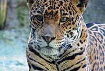 Animaux Sauvages / Ce tableau est dédie aux francophones passionnés par les animaux. Vous y trouverez des images d'animaux, mais aussi des articles en Français vous aidant à  mieux les connaitre. Pour contribuer, envoyez un email à info@lebigtrip.fr avec votre nom Pinterest et votre adresse email associée.