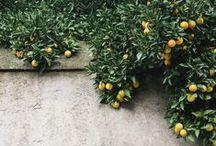 Citrus-Esperides-Agrumes