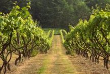 Wine & UK Vineyards