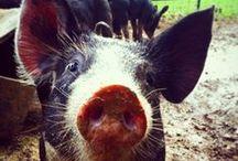 Piggie pigs ♡