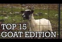 Video of cute goats
