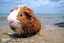 Cobayas - Guinea Pig / Sección de mi mascota preferida