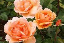 Fragrant Rosebushes