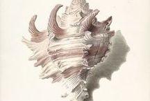Shells. Ракушка / Ракушка найдена в Pinterest