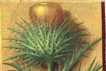 Herbier d'Anne de Bretagne / Gallica - Grandes Heures d'Anne de Bretagne, BNF, Ms Latin 9474, 1503-1508, Angers, enluminé par Jean Bourdichon -- See more at: http://uses.plantnet-project.org/fr/Livre_d'heures_d'Anne_de_Bretagne,_identifications