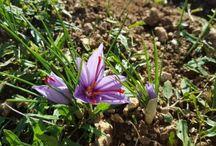 Saffron - Le vie dello zafferano / Discover together all the saffron production with us! Scopriamo insieme il ciclo dello zafferano di Navelli! #Abruzzo #travel #italy #crocusSativus #navelli #zafferano #saffron #abruzzoSegreto #abruzzosecret #Abruzzen