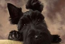 I Love Scottie Dogs / I have had 8 wonderful scotties in my life, I am blessed. / by KayaPapaya