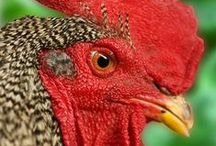 Chickens and Their Fabulous Homes / Great chickens, eggs and Coops
