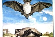 Bats & Flying Foxes