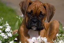 Boxers en dogs