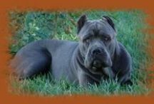 FarmerCase~Cane Corso♡NewFamilyMember / by Jean Case