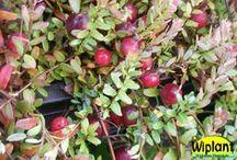 Ovanligare bärväxter / Bär- och några fruktsorter utöver det vanliga