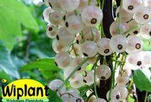 Vinbär / Olika vinbärssorter och deras egenskaper