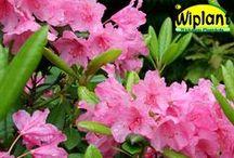 FinE-märkta Rhododendron och Azaleor / Finska rhododendron och azaleor i vårt sortiment. Planteras i skuggiga lägen och sur jord (pH 4-5). Blommar i början på sommaren, zonerna är finska zoner. Kotimaisia alppiruusuja ja atzaleoita (FinE). Muista istutttaa hapaan maahan ja mieluummin puolivarjoon tai varjoon (ei kuivaan paikkaan).