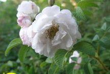 Nya finska rosor / Uudet suomalaiset ruusut