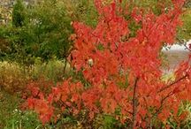Små lövträd / Vill du ha ett träd på din gård, men det får inte bli så stort? Här är ett urval av de mindre lövträdssorterna i vårt sortiment.